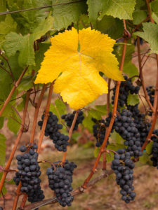 grapes and leaves on vine